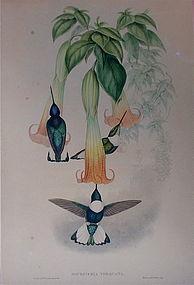 John Gould Hummingbird print 1861 original