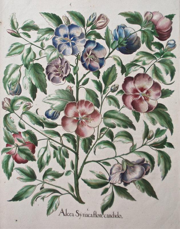 Basilius Bessler Botanical Floral engraving c.1613