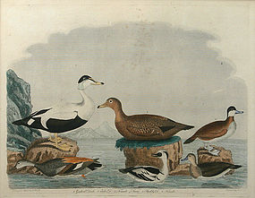 "Alexander Wilson, ""American Ornithology"", Plate 71"
