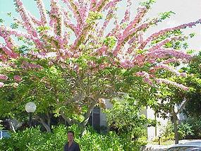 Cassia Javanica, Apple Blossom Tree