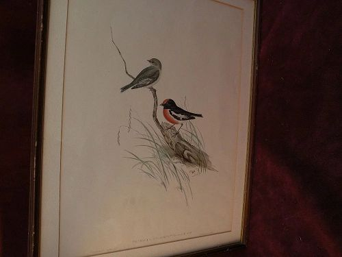 JOHN GOULD (1804-1881) hand colored bird lithograph by noted naturalist and illustrator