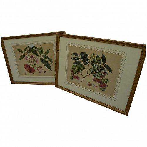 PAIR original botanical drawings of tropical fruits circa 1850