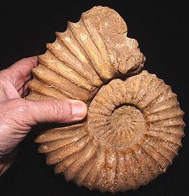 Rare Nautilus Ammonite Fossil - Cretaceous Period