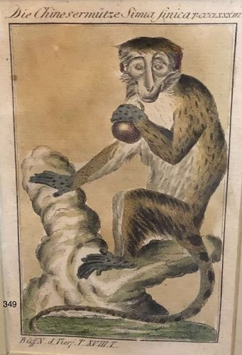 Eighteenth Century, hand colored Etching Exotic monkey