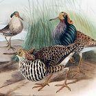 RUFF SANDPIPER Henry Dresser Keulemans Birds Europe 1878 London