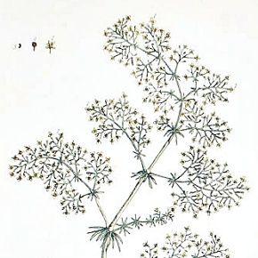 LADIES BEDSTRAW Elizabeth Blackwell Curious Herbal 1739 London