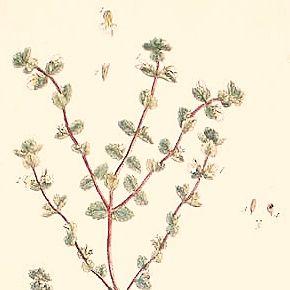 EYEBRIGHT EUPHRAGIA Elizabeth Blackwell Curious Herbal 1739 London