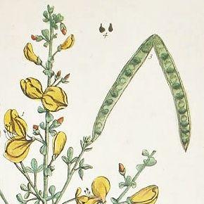 BROOM Engraving Elizabeth Blackwell Curious Herbal