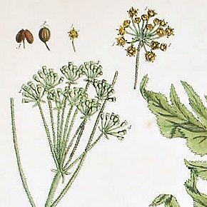 HERCULES ALLHEAL Elizabeth Blackwell Curious Herbal 1739 London