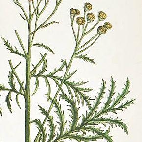 TANSIE TANACETUM Elizabeth Blackwell Curious Herbal 1739 London