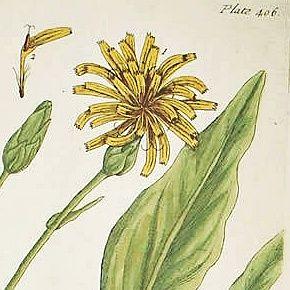 VIPERS GRASS SCORZONERA Elizabeth Blackwell Curious Herbal 1739 London