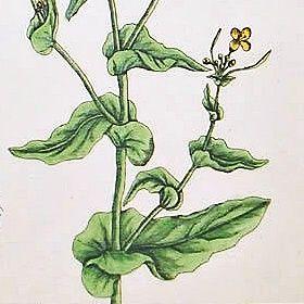 SWEET NAVEN Elizabeth Blackwell Curious Herbal 1739 London