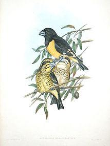 GROSBEAK BLACK YELLOW John Gould Hart Richter Wolf Birds Asia Antique