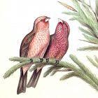 GROSBEAK CAUCASIAN John Gould Richter Wolf Birds Asia Antique London