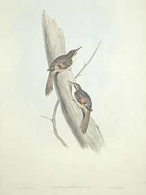 CREEPER HIMALAYAN Lithograph Gould Richter Wolf Birds Asia Antique