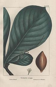 ALMOND INDIAN Michaux North American Sylva 1857 Philadelphia Engraving