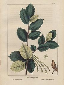 OAK TREE HOLLY LEAVED North American Sylva Michaux 1857 Philadelphia
