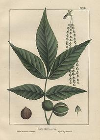 HICKORY FRUITED North American Sylva Michaux Nuttall 1857 Philadelphia
