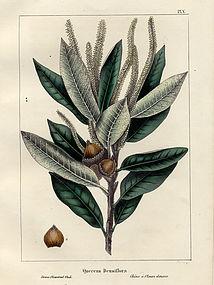 OAK DENSE FLOWERED North American Sylva Michaux 1857 Philadelphia