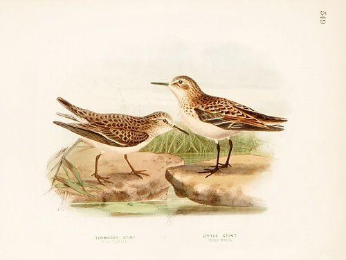STINT TEMMINCK LITTLE Henry Dresser Keulemans Birds Europe 1871 London