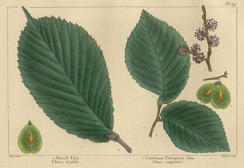 ELMS DUTCH COMMON EUROPEAN North American Sylva Michaux 1857