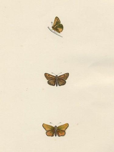 SKIPPER LULWORTH Morris History British Butterflies London 1876