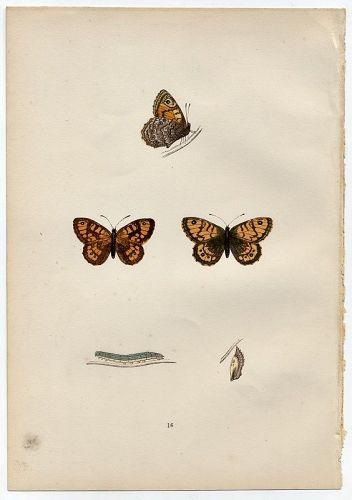 GATE KEEPER Morris History British Butterflies London 1876