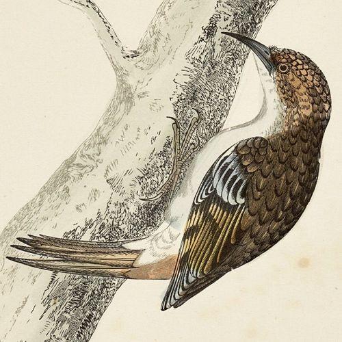 CREEPER Engraving Morris History British Birds Antique Print