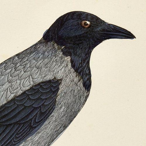 CROW HOODED Engraving Morris History British Birds Antique Print
