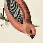 GROSSBEAK PINE Engraving Morris History British Birds Antique Print