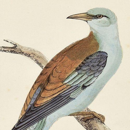 ROLLER Engraving Morris History British Birds Antique Print