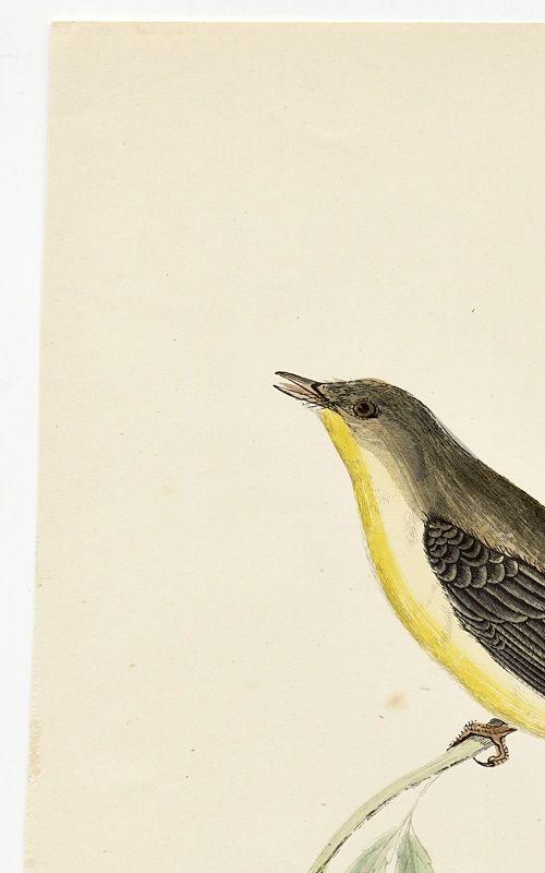 WARBLER MELODIOUS WILLOW Engraving Morris History British Birds