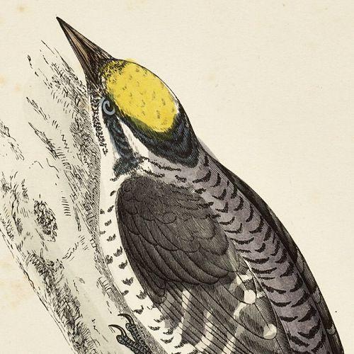 WOODPECKER THREE TOED Engraving Morris History British Birds