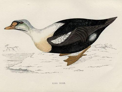 DUCK KING Engraving Morris History British Birds London Antique