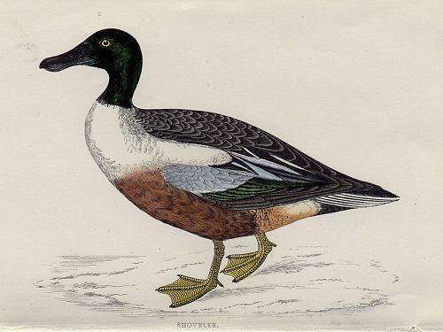 SHOVELER Engraving Morris History British Birds London Antique