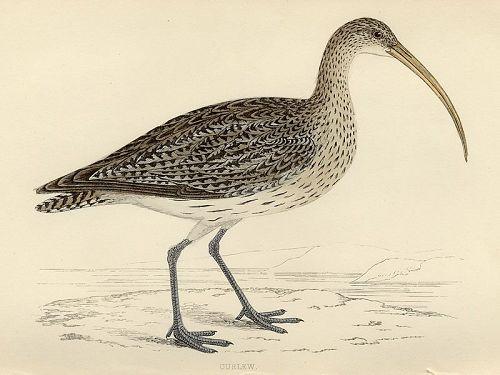 CURLEW Engraving Morris History British Birds London Antique Print