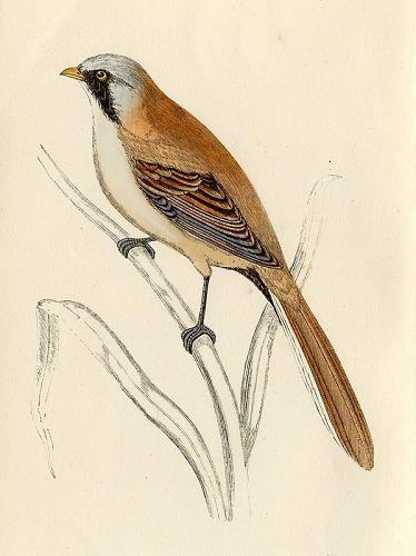 BEARDED TIT Engraving Morris History British Birds London Antique