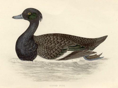 DUCK TUFTED Engraving Morris History British Birds London Antique