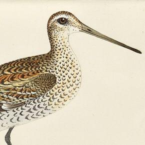 SNIPE GREAT Engraving Morris History British Birds London Antique