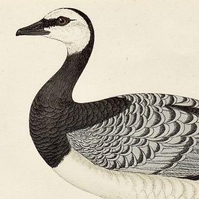 GOOSE BERNICLE Engraving Morris History British Birds London Antique