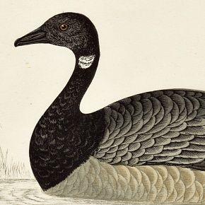 GOOSE BRENT Engraving Morris History British Birds London Antique