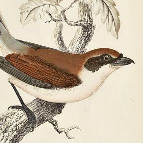 SHRIKE RED BACKED Engraving Morris History British Birds London
