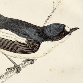 FLYCATCHER PIED Engraving Morris History British Birds London Antique