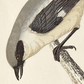 SHRIKE GREAT Engraving Morris History British Birds London Antique