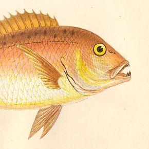 DENTEX Engraving History Fish British Islands Jonathan Couch