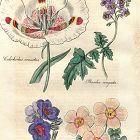 CALOCHORLUS VENUSTUS Engraving Floricultural Cabinet Harrison London