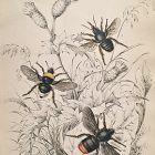 BEE HARRIS HUMBLE Engraving Naturalist Library Jardine Antique Print