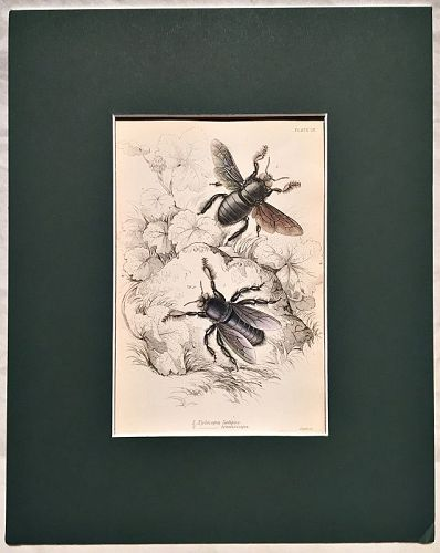 XYLOCOPA LATIPES Engraving Naturalist Library Jardine Antique Print