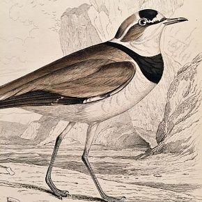 PLOVER BLACK ZONED Engraving Naturalist Library Jardine Antique Print