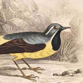 WAGTAIL GREY Engraving Naturalist Library Jardine Antique Print
